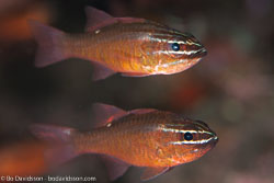 BD-130406-Tulamben-0602-Ostorhinchus-moluccensis-(Valenciennes.-1832)-[Moluccan-cardinalfish].jpg
